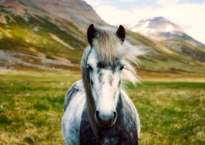 Islande - cheval 1200x800 2