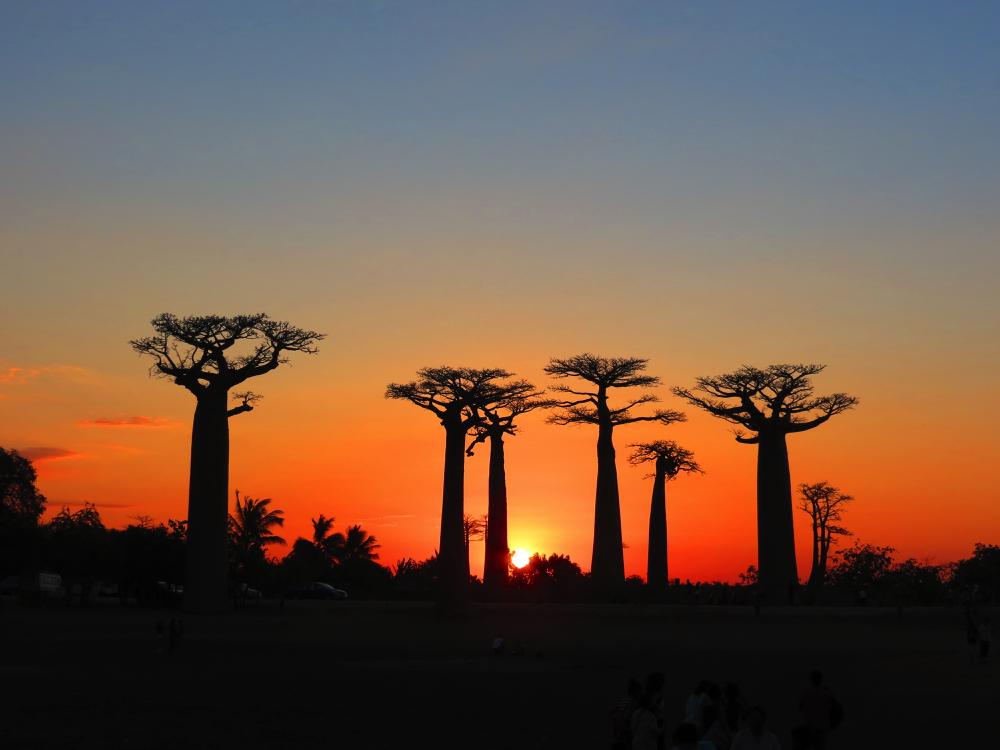 Madagascar - allee des baobabs