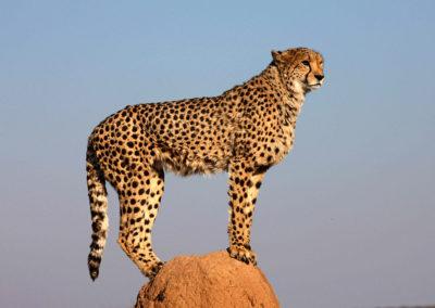 Chitah-guépard en Namibie