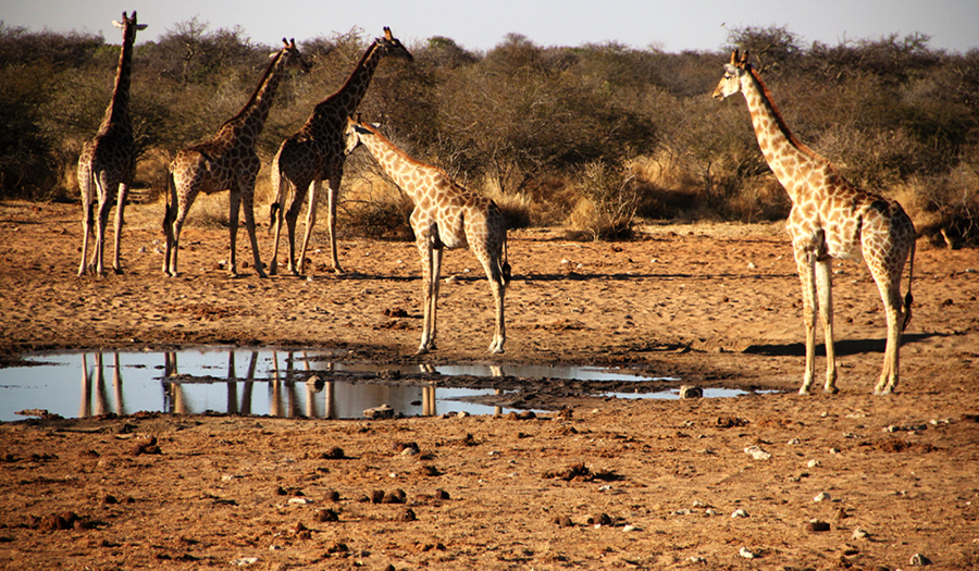Namibie - Girafe