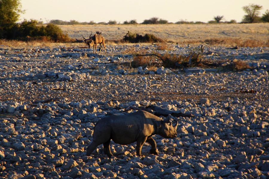 Namibie - Rhinocéros