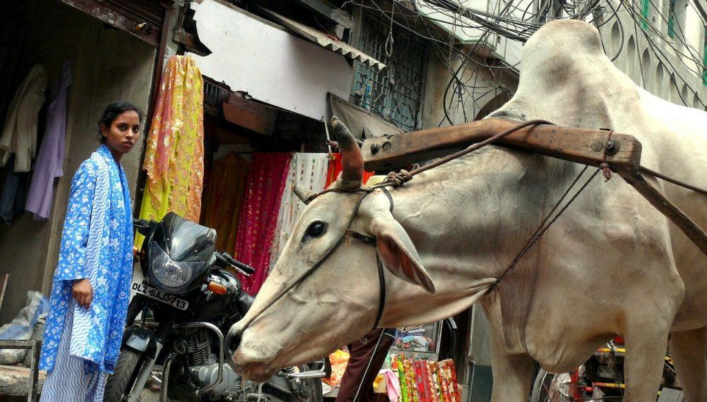 Inde - New Delhi boeuf