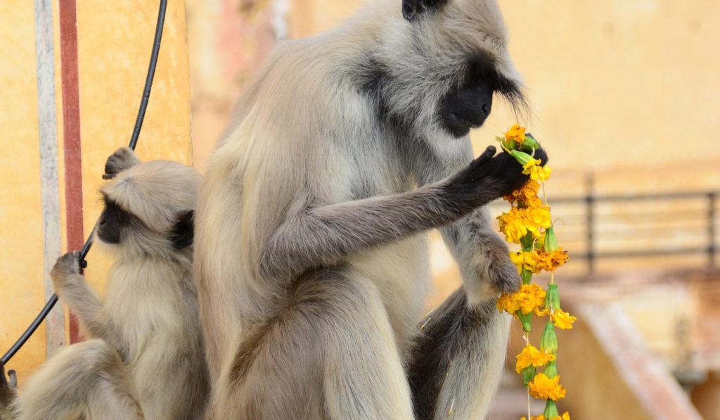 Inde - Singes