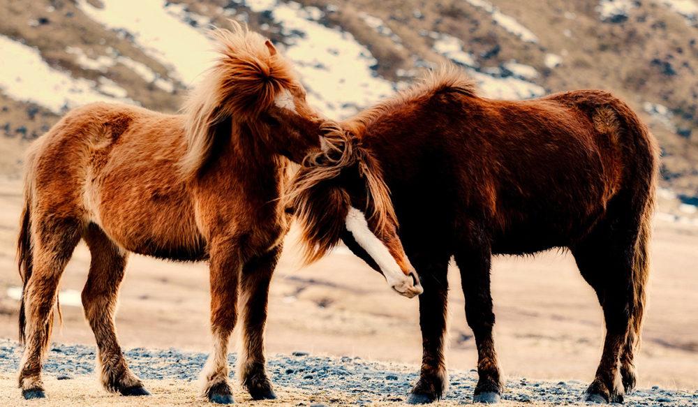 Islande - poney 1200x700