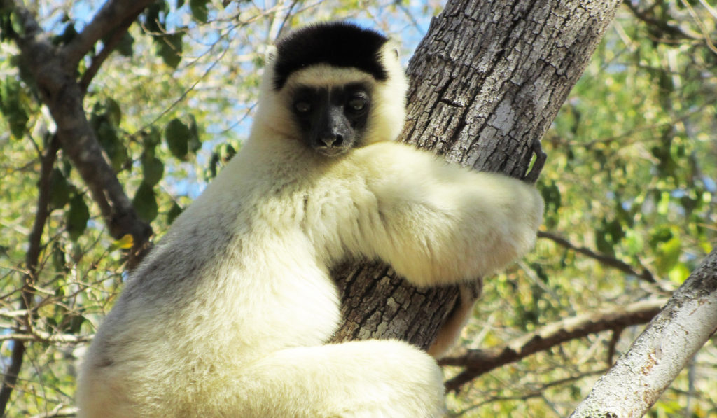 Madagascar 19j - lémurien2