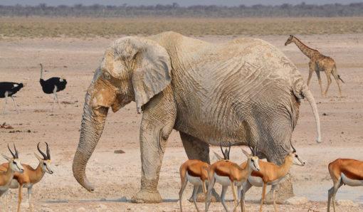 La Namibie éléphant