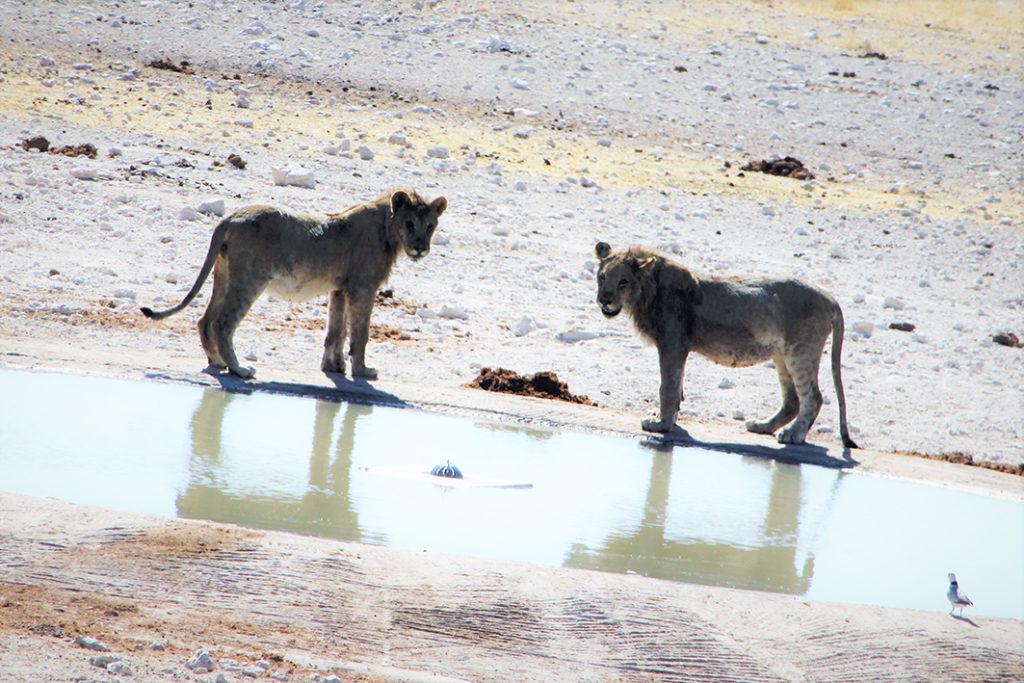 Namibie - safari a Etosha