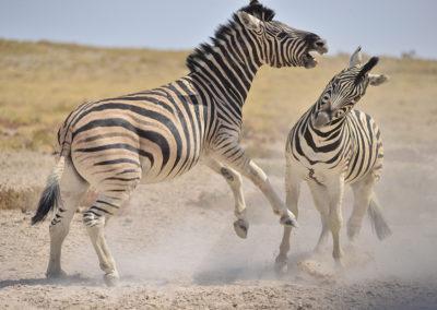 Namibie - zèbres qui se battent 1200x800