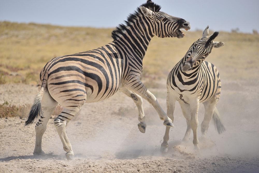 La namibie - zèbres