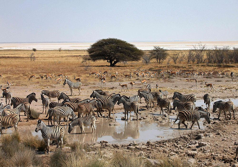 Troupeau de zèbres à Etosha en Namibie